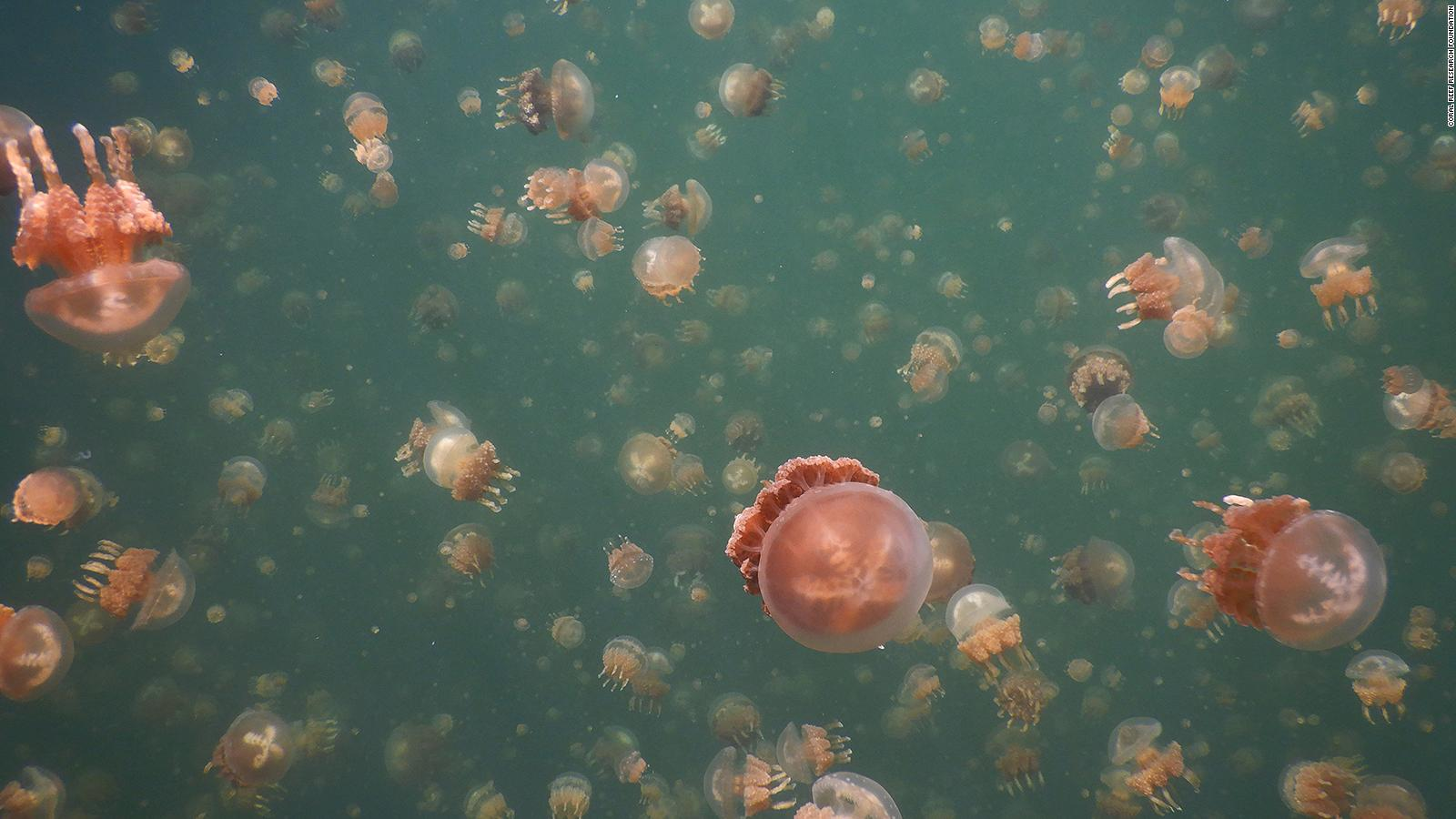 Palau Jellyfish Lake